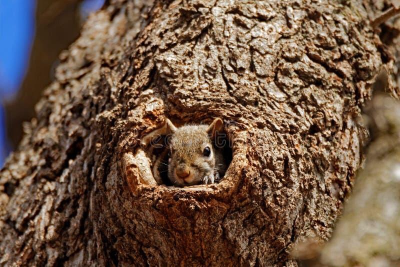 Grey Squirrel in un foro fotografie stock libere da diritti