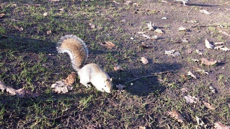 Grey Squirrel, a vida selvagem em meu jardim fotografia de stock