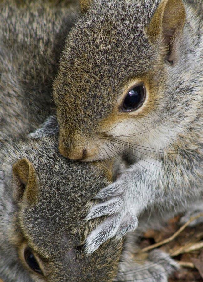 Grey Squirrels joven foto de archivo