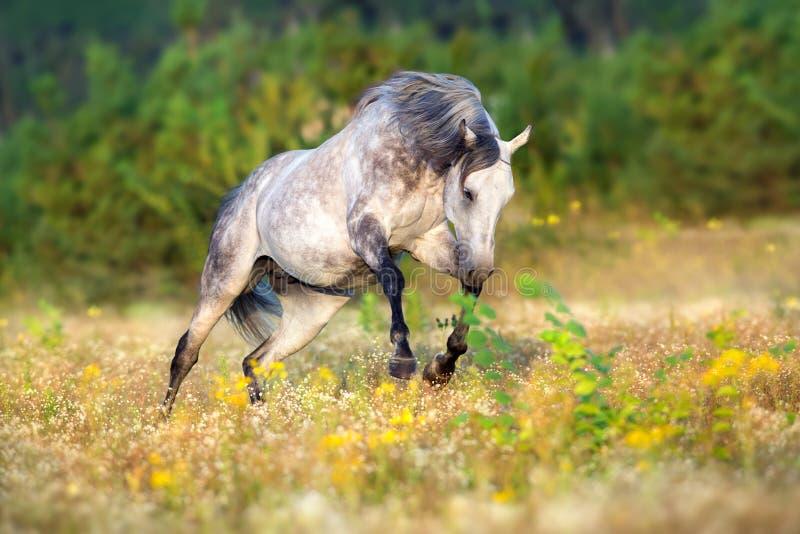 Grey stallion free run stock image