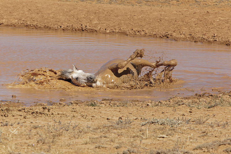 Grey Stallion taking a mud bath. The stud takes a bath at the watering hole in the desert of Wyoming badlands royalty free stock photos