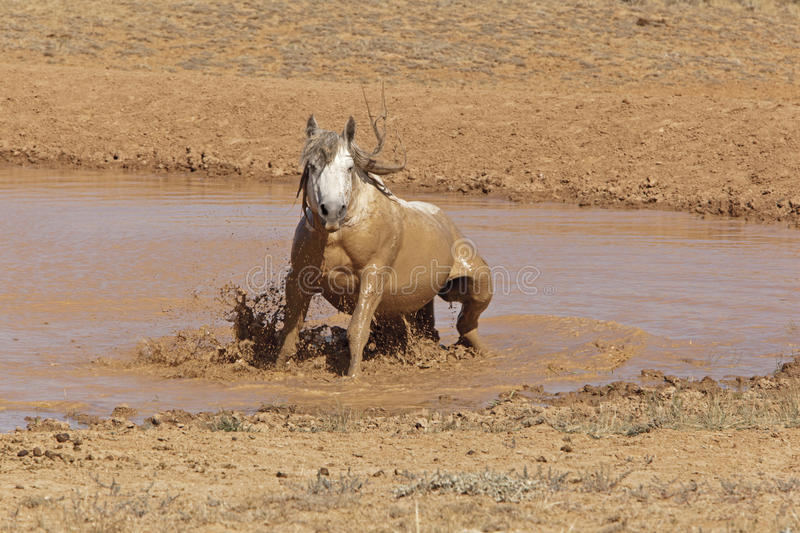 Grey Stallion taking a mud bath. The stud takes a bath at the watering hole in the desert of Wyoming badlands royalty free stock images