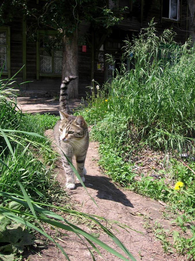 Grey stray cat walking on the road in the summer near the old wooden house in the grass. Grey stray striped cat walking on the road in the summer near the old royalty free stock photos