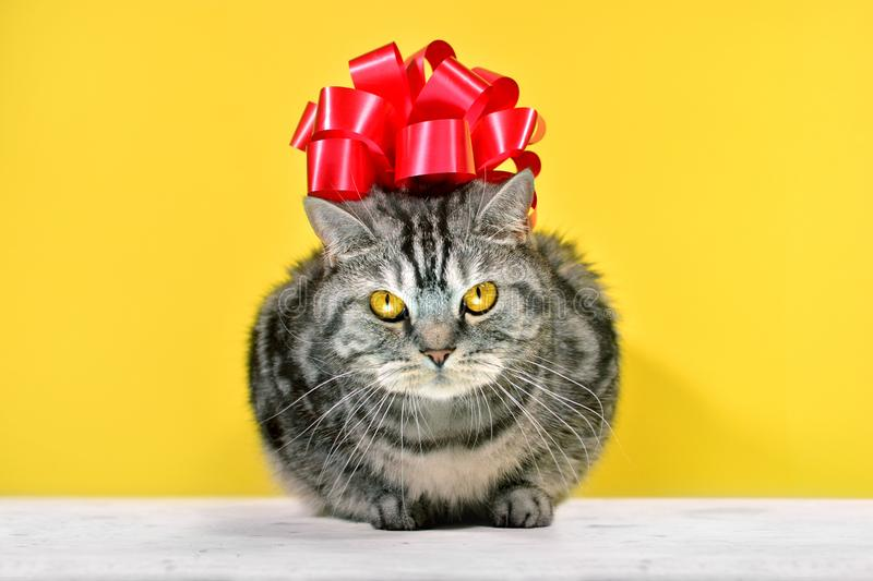 Grey striped british cat with big red bow on a head sitting on a yellow background.  Gift card with funny cat portrait stock photos