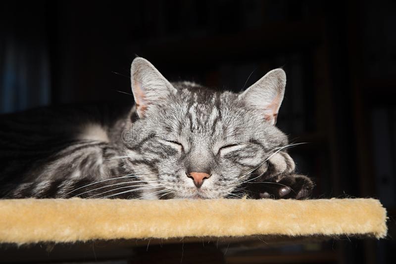Grey striped cat, resting on a pets platform stock images