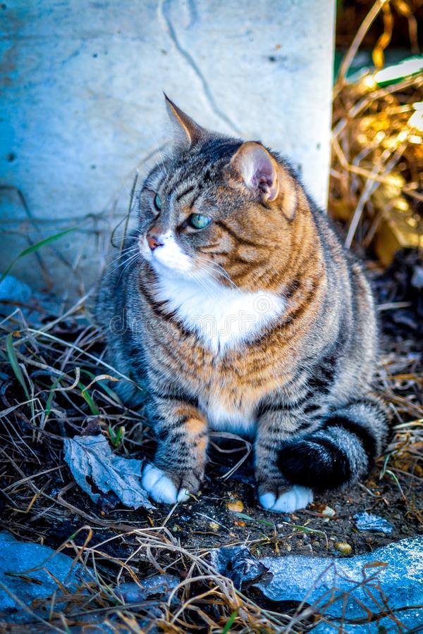 Grey striped cat sitting on the ground and looking away. A gray striped cat with a white breast and white paws sits on the ground among the melting snow and dry stock photos
