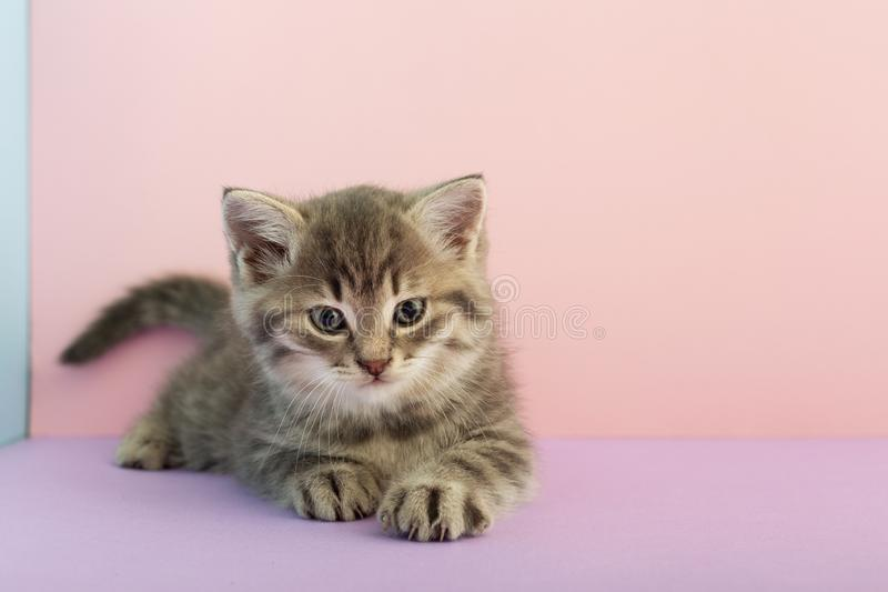 Grey striped kitten playing on a pink background with copy space for text. Little cute striped fluffy cat. Newborn kitten, Kid stock photos
