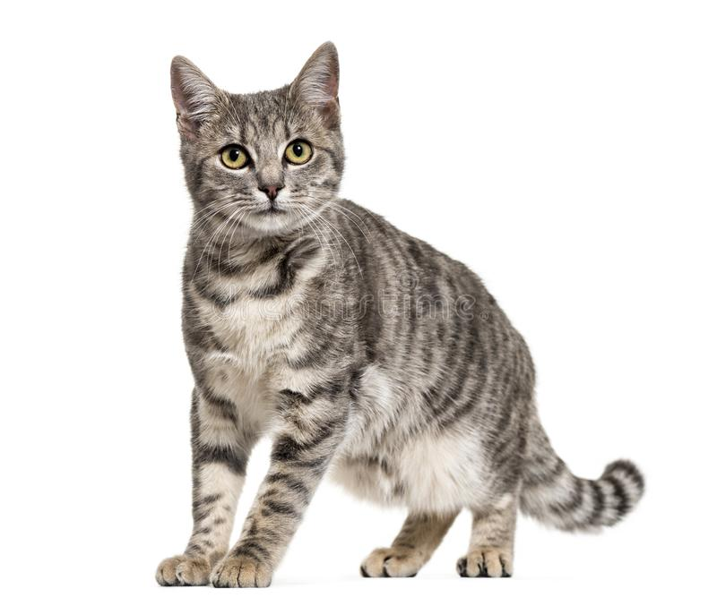 Grey stripped mixed-breed cat standing, isolated stock images
