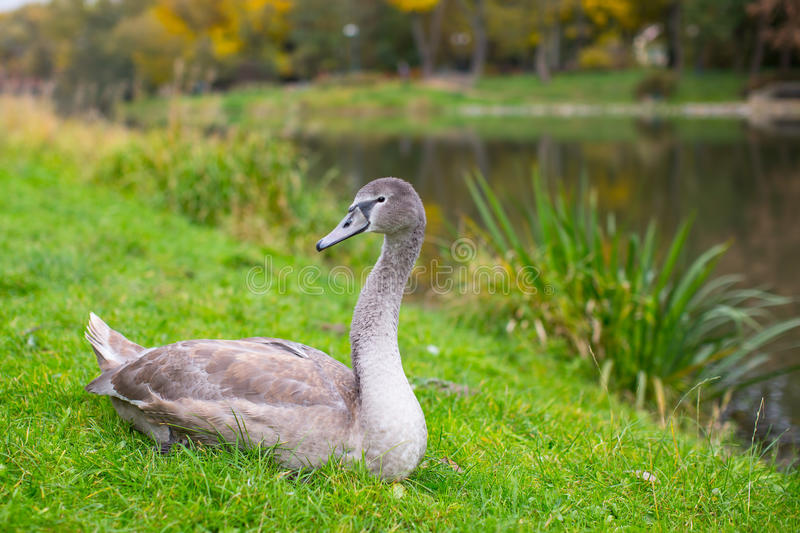 Grey Swan lying on the grass near the lake. Nature. royalty free stock image