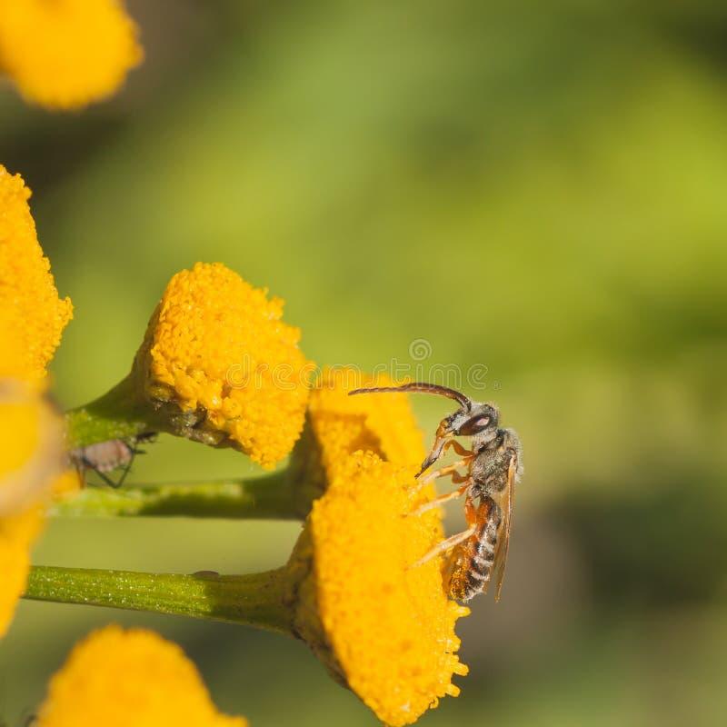 Download Grey Sweat Bee stock photo. Image of hexapoda, halictinae - 59804148