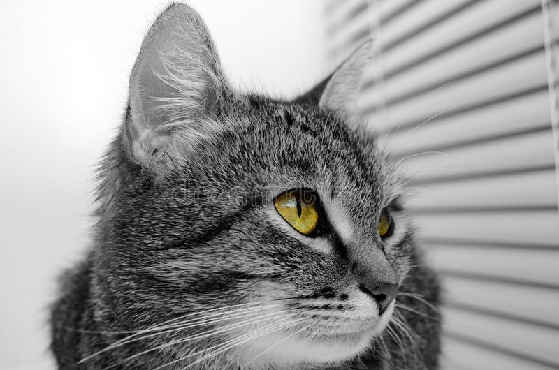 Grey Tabby Cat immagine stock