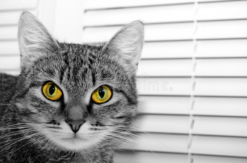 Grey Tabby Cat fotografie stock