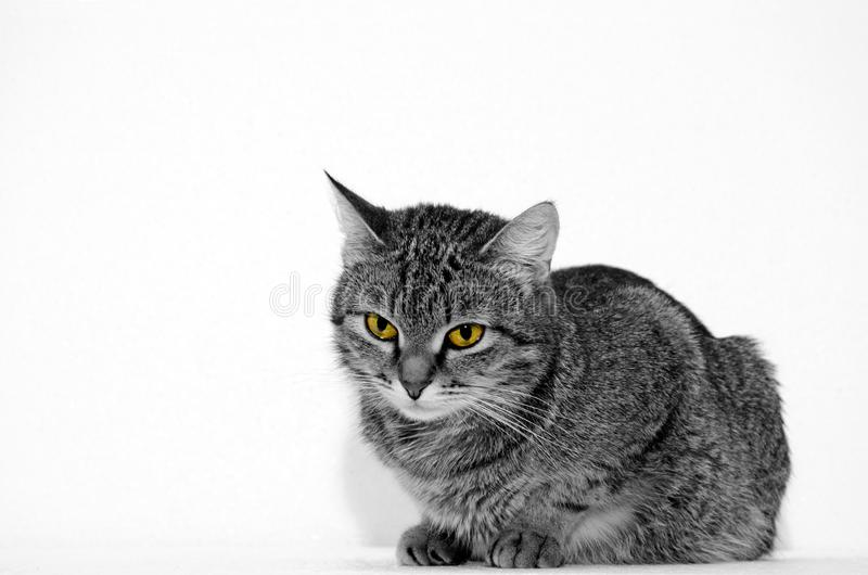 Grey Tabby Cat fotografia stock