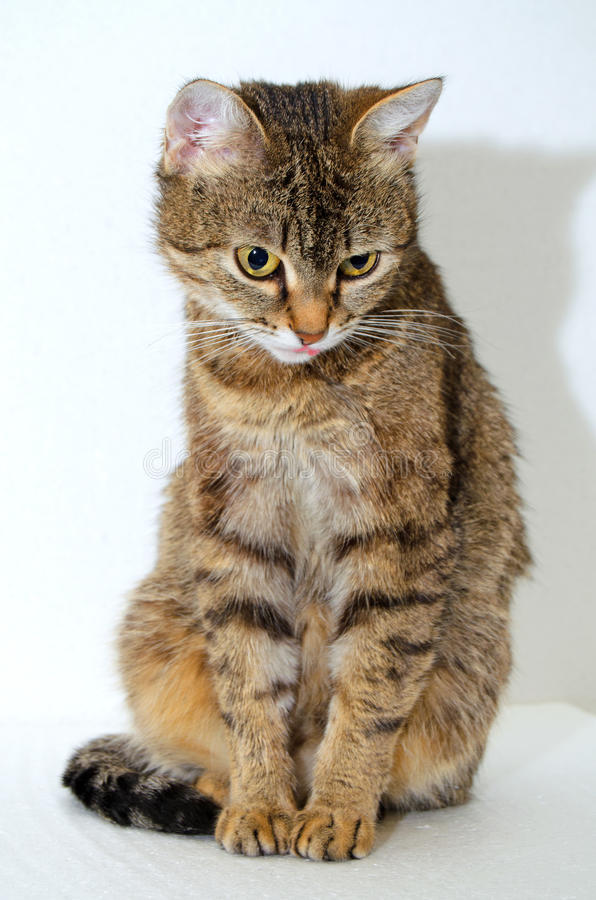 Grey Tabby Cat immagini stock