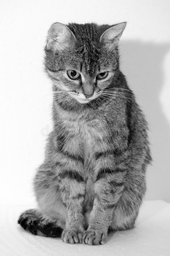 Grey Tabby Cat arkivbilder