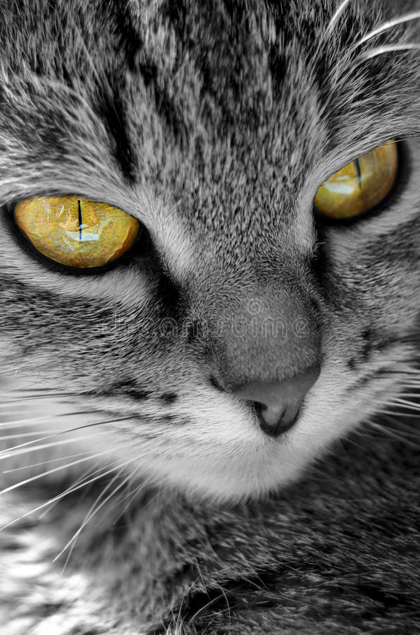 Grey Tabby Cat royaltyfri foto