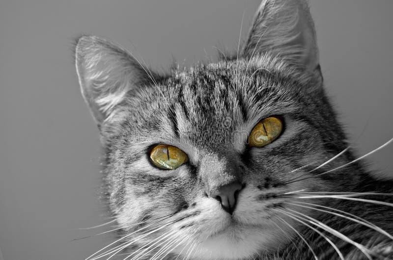 Grey Tabby Cat imagen de archivo