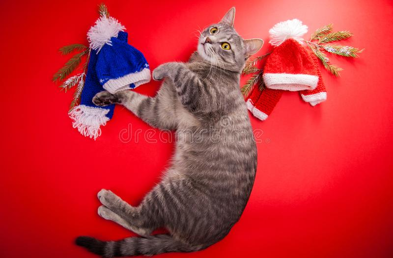 Grey tabby cat choosing a winter outfit on red background. Tough choice between red and blue hat and scarf. Grey tabby cat choosing a winter outfit on red stock photos