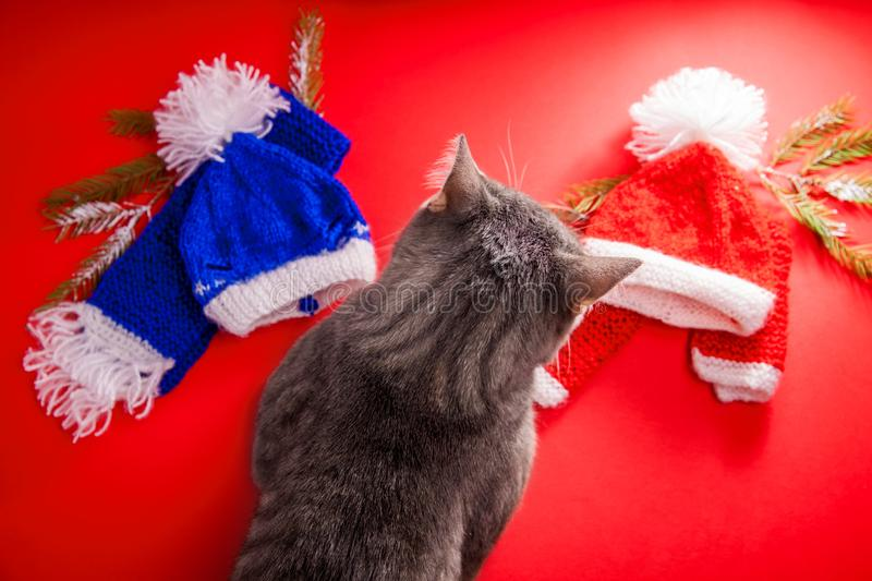 Grey tabby cat choosing a winter outfit on red background. Tough choice between red and blue hat and scarf. Grey tabby cat choosing a winter outfit on red stock image
