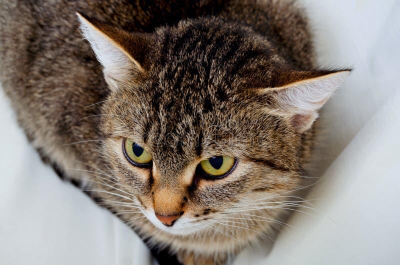 Grey Tabby Cat fotografía de archivo libre de regalías