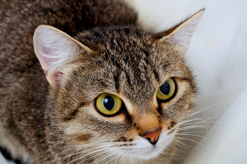 Grey Tabby Cat fotos de archivo