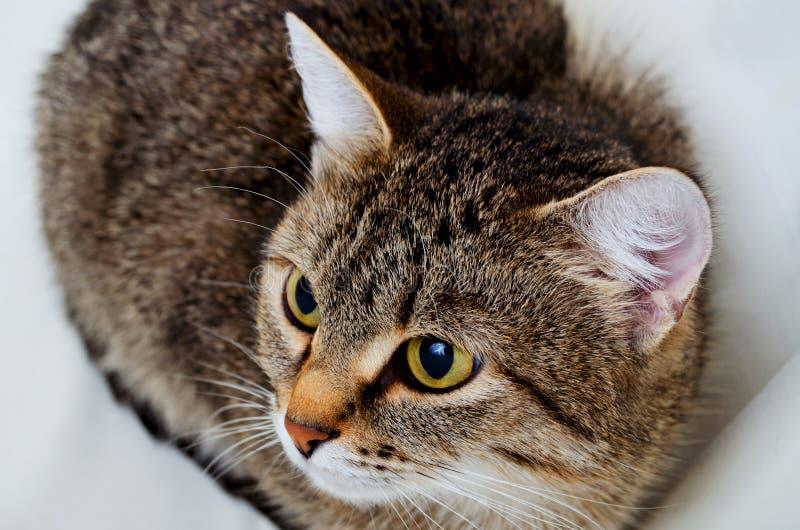 Grey Tabby Cat foto de archivo libre de regalías
