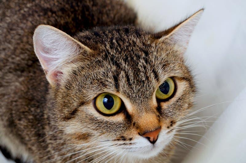 Grey Tabby Cat stock foto's