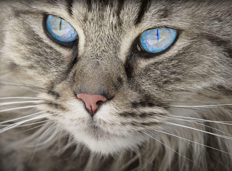 Grey Tabby Cat observée par bleu images stock