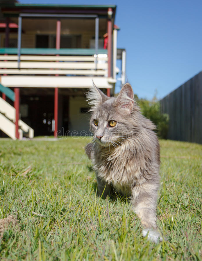 Grey tabby cat on the prowl stock image