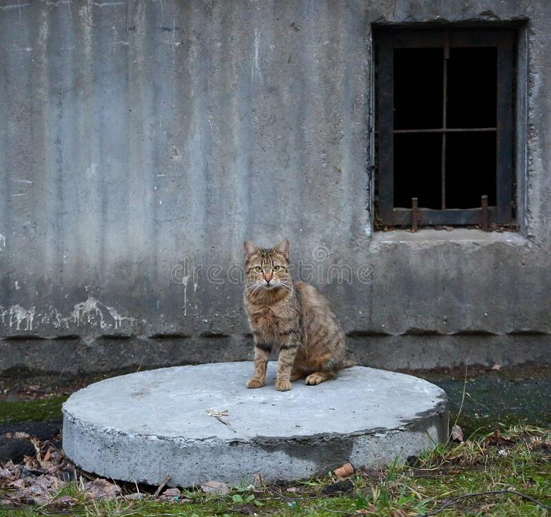Grey tabby cat sits on the concrete manhole cover by the basement window royalty free stock photography