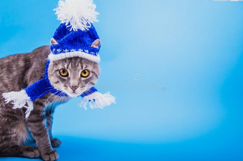 Grey tabby cat wearing blue New year hat with scarf on blue background. Portrait of a grey tabby cat wearing blue New year hat with scarf on blue background royalty free stock images