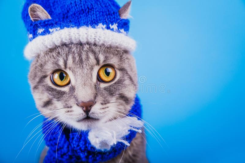 Grey tabby cat wearing blue New year hat with scarf on blue background. Portrait of a grey tabby cat wearing blue New year hat with scarf on blue background royalty free stock photo