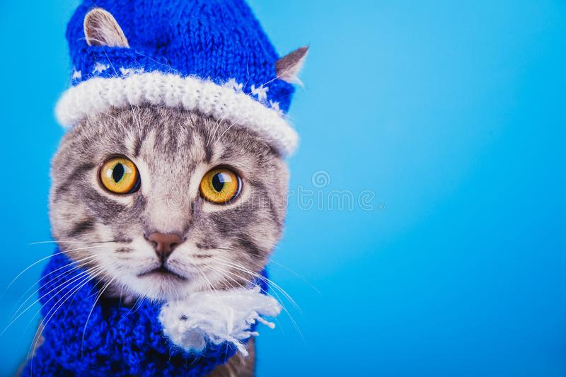 Grey tabby cat wearing blue New year hat with scarf on blue background. Portrait of a grey tabby cat wearing blue New year hat with scarf on blue background stock image