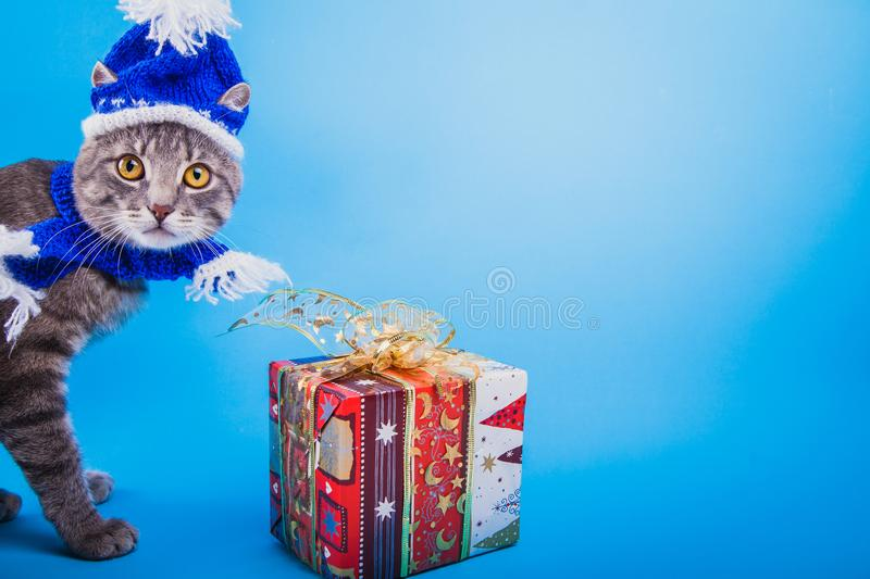Grey tabby cat wearing blue New year hat with scarf and sitting by a gift box on blue background stock images