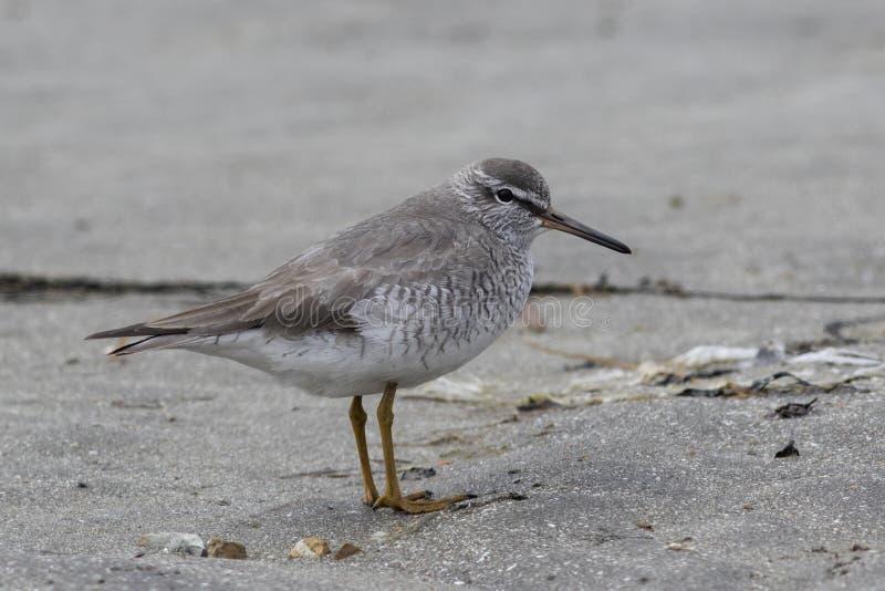 GREY-TAILED TATTLER se tenant sur une plage sablonneuse au printemps photographie stock