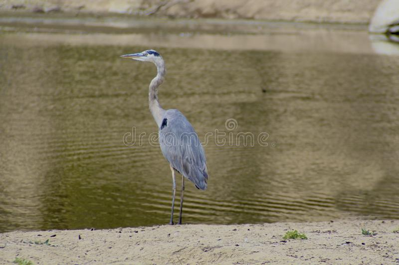 Crane bird gray and thin. Tall grey thin crane standing on the edge of the water royalty free stock photo