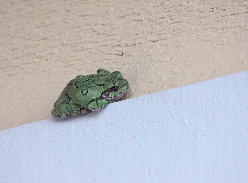Grey Tree Frog durmiente fotografía de archivo