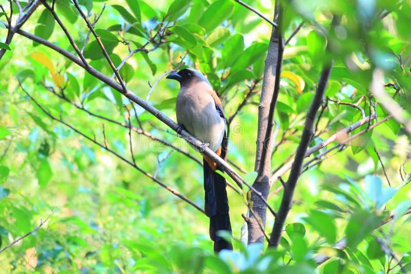 Download Grey Treepie Of Himalayan Treepie Stock Foto - Afbeelding bestaande uit rust, watching: 39113358