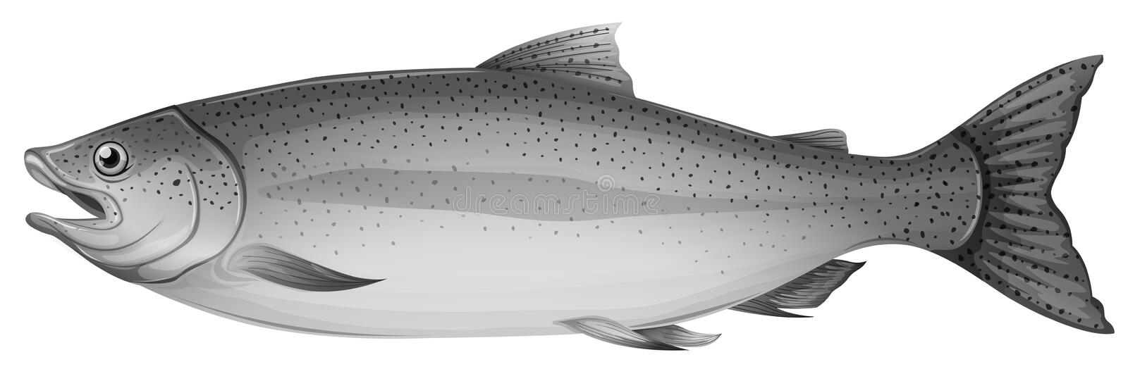 A grey trout fish. Illustration of a grey trout fish on a white background royalty free illustration