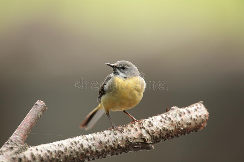 Grey wagtail. royalty free stock photography