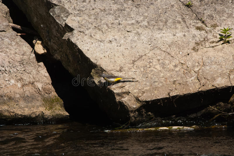 Grey Wagtail. Rare Grey Wagtail on a limestone boulder by the river royalty free stock photos