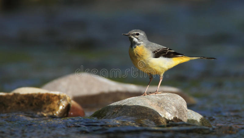 Grey Wagtail on the River royalty free stock image