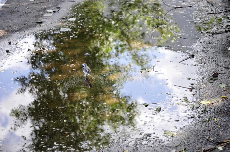 Grey wagtail walking on the puddle stock image
