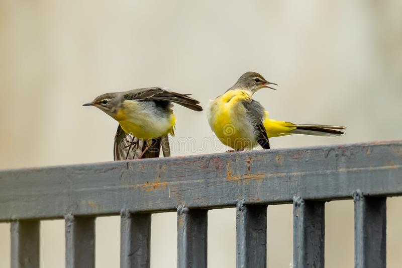 Grey wagtails perching on fence, stretching its wing and relaxing. Chiang Mai, Thailand stock images