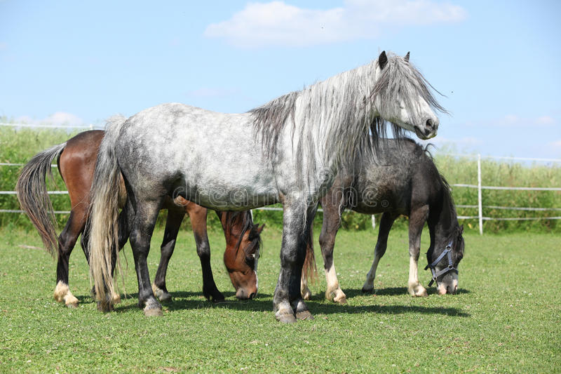 Download Grey Welsh Pony Standing On Pasturage Stock Photo - Image: 32000558