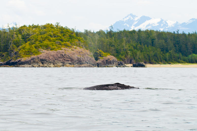 Download Grey Whale Royalty Free Stock Images - Image: 27749229