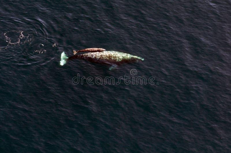 Grey Whale con el bebé fotos de archivo