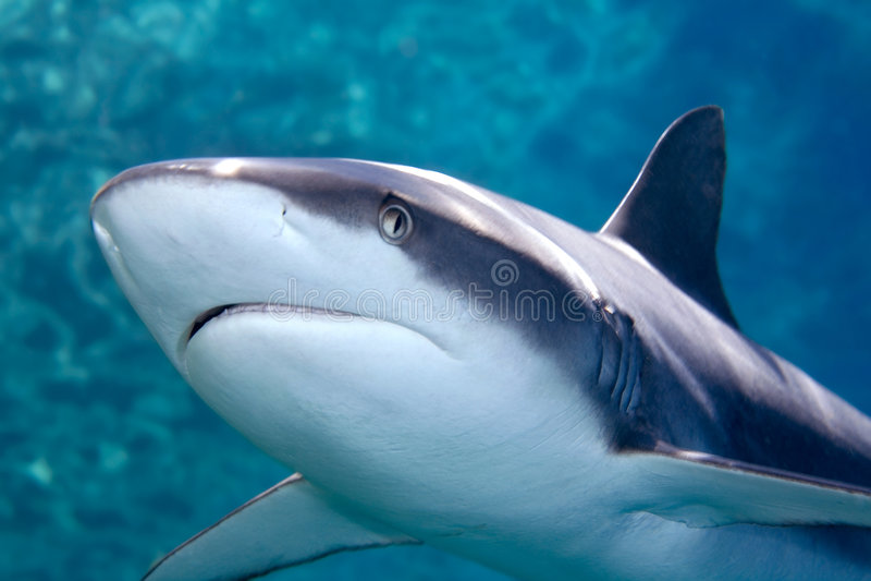 Grey whaler Shark. A grey reef, or whaler shark, swimming along underwater