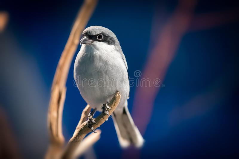Grey and white bird. Sitting on a tree with blue sky in the background royalty free stock image