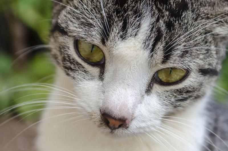Grey And White Cat Eyes nero fotografia stock libera da diritti